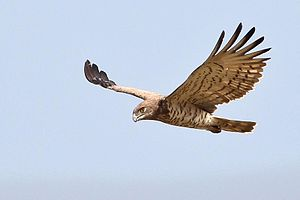 Short-toed snake eagle - Image: Short Toed Snake Eagle In Flight