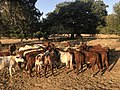 Shorthorn heifers eating hay.jpg