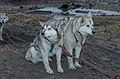 Siberian Husky 02(js), Nome (Alaska).jpg