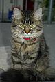 Sibirische Katze Katz1.jpg