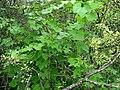 Sicyos pachycarpus (4999101527).jpg