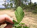 Sida rhombifolia leaf1 (15521071794).jpg