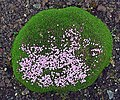Silene acaulis - Mosscampion.jpg