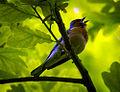 Singing chaffinch (18189388350).jpg