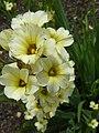 Sisyrinchium striatum (Iridaceae) flowers.JPG