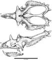 Skull reconstruction of Utahceratops gettyi.png