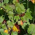 Skunk Currant (Ribes glandulosum) - Newfoundland 2019-08-21.jpg