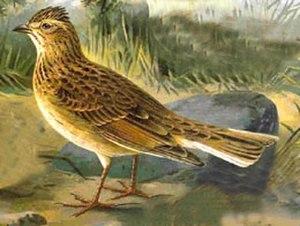 Eurasian skylark - Alauda arvensis