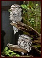 Sleeping Frogmouths-1and (4197203592).jpg