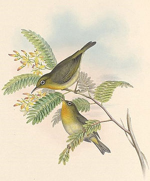 1848 in birding and ornithology - Image: Slender billed White eye cropped