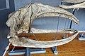 Slottsfjellsmuseet Museum Hvalhallen (Whale Hall) Tønsberg, Norway. Hvalskjeletter (Old skeletons) Nordkaper (Right whale Eubalaena glacialis) etc 2020-01-21 2310.jpg