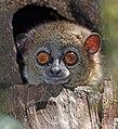 Small-toothed sportive lemur (Lepilemur microdon) head.jpg