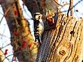 Small Woodpecker on Phone Pole (8662603061).jpg