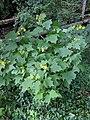 Smallanthus uvedalius bush.jpg