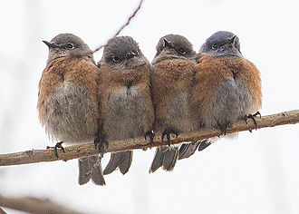 Thermoregulation - During cold weather many animals increase their thermal inertia by huddling.