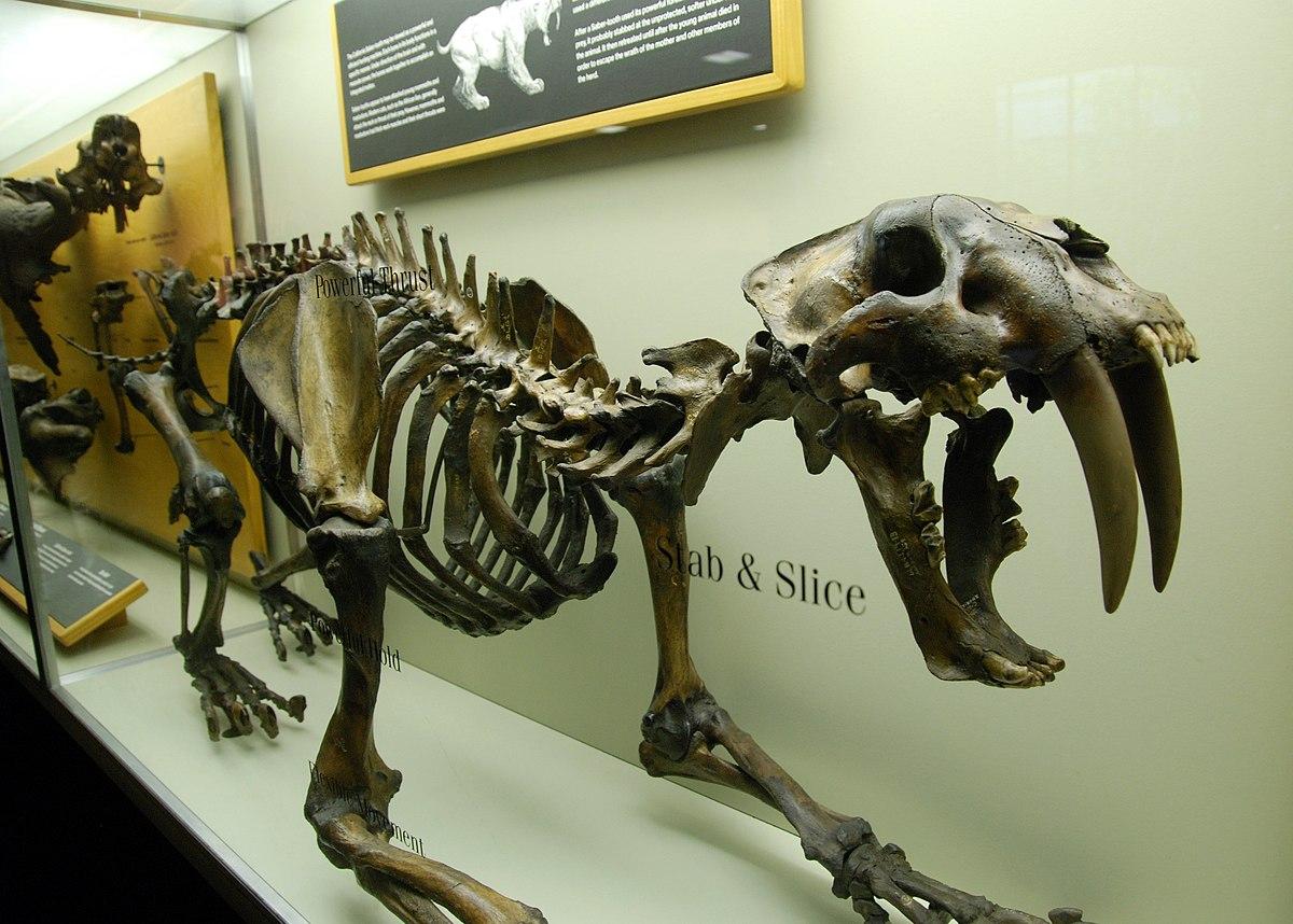 Smilodon - Wikipedia, la enciclopedia libre