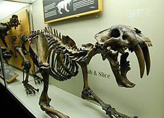 Esqueleto do Smilodon californicus no La Brea Tar Pits Museum. (Los Angeles)