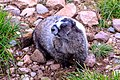 Smithers area - late afternoon hike to Crater Lake on Hudson Bay Mtn - Hoary Marmot (Marmota caligata) - (20933918524).jpg