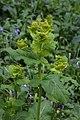 Smyrnium perfoliatum (Apiaceae) (27333684511).jpg