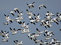Snow geese and Ross geese (6338624060).jpg