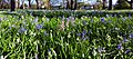 Snowdrops and bluebells. (15008376617).jpg