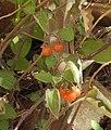 Solanum villosum RF.jpg