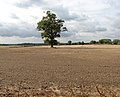 Solitary tree in recently drilled field - geograph.org.uk - 1533520.jpg