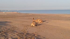 Berbera - Camels on the Berbera beachside