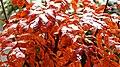 Sorbus Herbstlaub 18.jpg