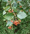 Sorbus badensis 170911b.JPG