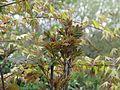 Sorbus sp ^ Acer palmatum - Flickr - peganum.jpg