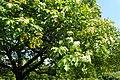 Sorbus torminalis kz07.jpg