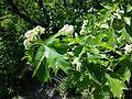 Sorbus torminalis sl12.jpg