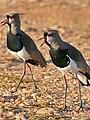 Southern Lapwings (Vanellus chilensis) calling ... (27917672952).jpg