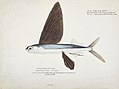 Southern Pacific fishes illustrations by F.E. Clarke 96.jpg