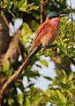 Southern carmine bee-eater, Merops nubicoides, Chobe National Park, Botswana (32309754702).jpg