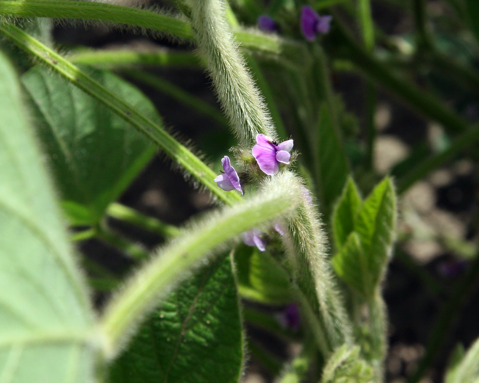 Soybean flowers