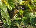 Speckled Tinkerbird - Kakum NP - Ghana 14 S4E1361 (16198696965), crop.jpg