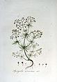 Spergula arvensis — Flora Batava — Volume v6.jpg