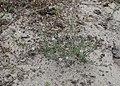 Spergularia rubra kz05.jpg