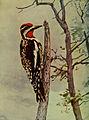 Sphyrapicus varius 1905.jpg