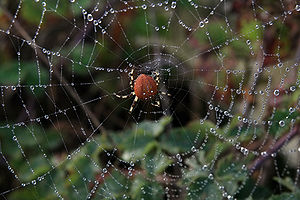 English: Pumpkin spider, Araneus trifolium and...