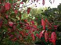 Spindle tree - Flickr - peganum (1).jpg