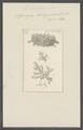 Spongia botryoïdes - - Print - Iconographia Zoologica - Special Collections University of Amsterdam - UBAINV0274 112 02 0069.tif