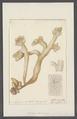 Spongia ossiformis - - Print - Iconographia Zoologica - Special Collections University of Amsterdam - UBAINV0274 112 02 0047.tif