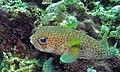 Spot-fin Porcupine Fish (Diodon hystrix) (8476668748).jpg