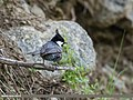 Spot-winged Tit (Periparus melanolophus) (34836759872).jpg