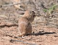 Spotted Ground Squirrel 8338vv.jpg