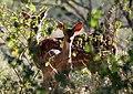 Spotted deer (2667902138).jpg