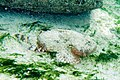 Spotted scorpionfish Scorpaena plumieri (3459289260).jpg